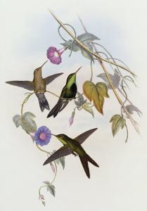 Hummingbirds, Sporadinus Elegans, Family of Humming-Birds by John Gould