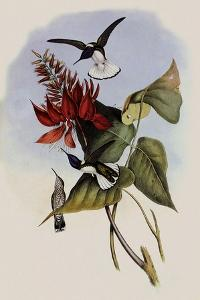 Jacobin, Florisuga Mellivora by John Gould