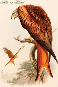 Kite or Glead by John Gould