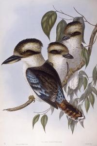 Laughing Kookaburra (Dacelo Novaeguineae) by John Gould