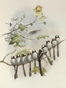 Long-Tailed Tit, Mecistura Caudata, The Birds of Great Britain, 1862-1873 by John Gould