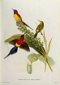 Nectarinia Gouldae from 'Tropical Birds' by John Gould