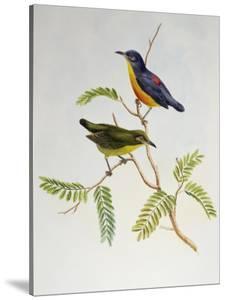 Orange-Bellied Flowerpecker (Dicaeum Trigonostigma) by John Gould