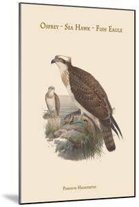Pandion Haliataetus - Osprey - Sea Hawk - Fish Eagle by John Gould