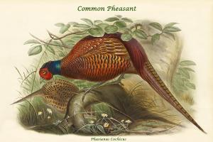 Phasianus Cochicus - Common Pheasant by John Gould