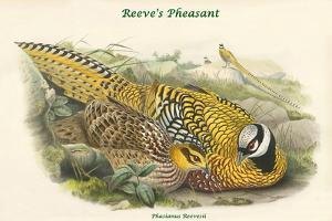 Phasianus Reevesii - Reeve's Pheasant by John Gould