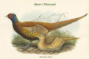 Phasianus Shawi - Shaw's Pheasant by John Gould