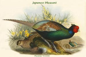 Phasianus Versicolor Japanese Pheasant by John Gould
