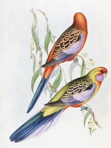 Platycercus Adelaidae from the Birds of Australia, C.1840 by John Gould