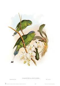 Prioniturus Spatuliger by John Gould