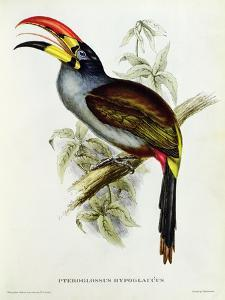 Pteroglossus Hypoglaucus from 'Tropical Birds' by John Gould