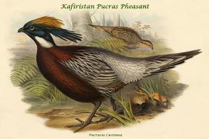 Pucrasia Castanea - Kafiristan Pucras Pheasant by John Gould