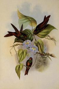 Rainbow, Diphogena Iris by John Gould