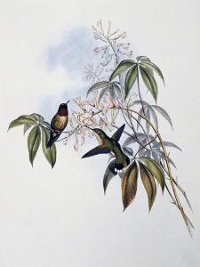 Ruby-Throated Hummingbird (Archilochus Colubris) by John Gould