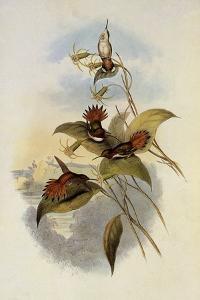 Rufous Flame-Bearer, Selasphorus Rufus by John Gould