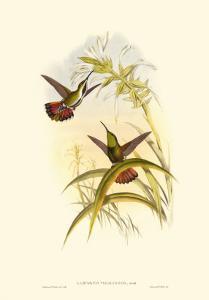 Small Gould Hummingbird I by John Gould