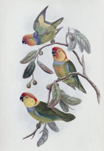 Southern Ring Perroquet by John Gould