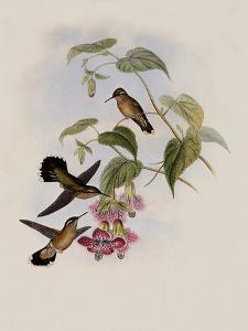 Spotted Adelomyia, Adelomyia Maculata by John Gould