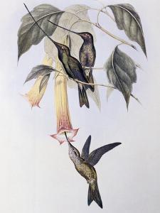 Sword-Billed Humming Bird (Docimastes Ensiferus) by John Gould