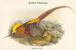 Thaumalea Picta - Golden Pheasant by John Gould