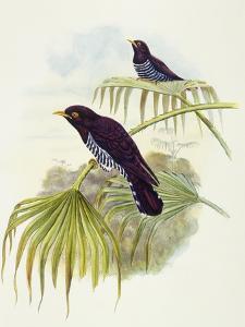 Violet Cuckoo (Chrysococcyx Xanthorhynchus) by John Gould
