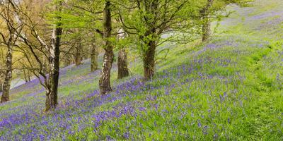 Wild English Bluebells are Lit Up by the Early Morning Sunrise