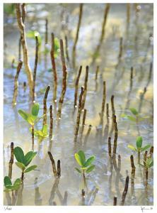 Light on Young Mangroves by John Gynell