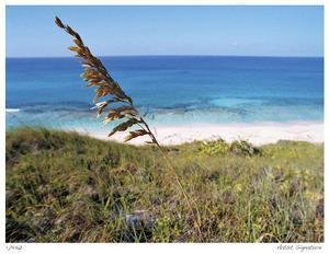 Stocking Island Sea Oat by John Gynell