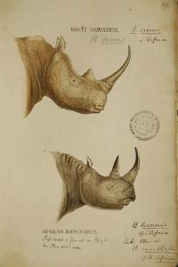 White Rhino and African Rhino, C.1860 by John Hanning Speke