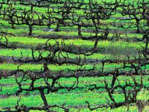 Coriole Vineyard - Barossa Valley, South Australia by John Hay