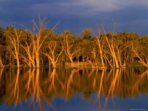 Dead Gum Trees in Shallows, and Healthy Ones on Banks, of Murray River, Victoria, Australia by John Hay