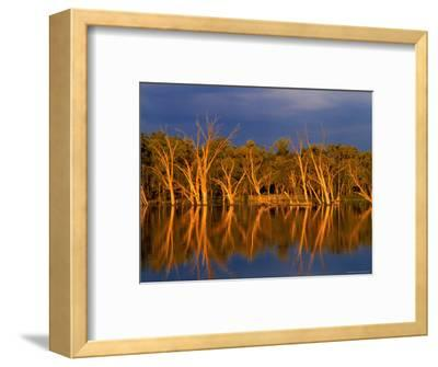 Dead Gum Trees in Shallows, and Healthy Ones on Banks, of Murray River, Victoria, Australia