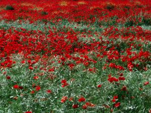 Field of Red Poppies in Chianti Region, Tuscany, Italy by John Hay