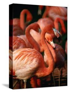 Flock of Greater Flamingos (Phoenicopterus Ruber), Tanzania by John Hay