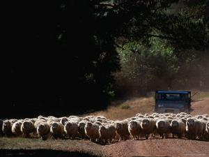 Truck Herding Sheep, Tasmania, Australia by John Hay