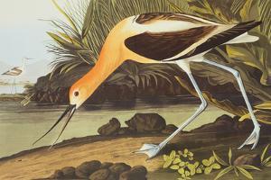 American Avocet by John James Audubon