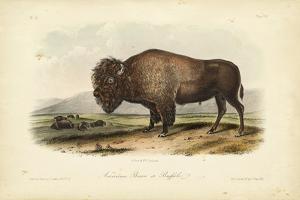 American Bison by John James Audubon