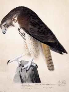 American Buzzard or White Breasted Hawk by John James Audubon