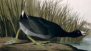 American Coot, from Birds of America, 1835 by John James Audubon