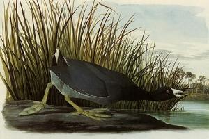 American Coot by John James Audubon