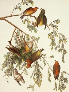 American Crossbill by John James Audubon