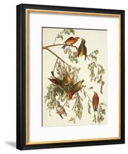 American Crossbill by John James Audubon