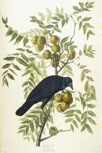 American Crow, 1833 by John James Audubon