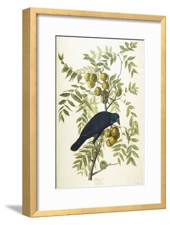 American Crow, 1833