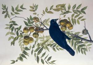 American Crow, from Birds of America by John James Audubon