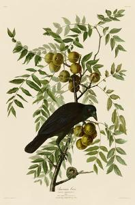 American Crow by John James Audubon