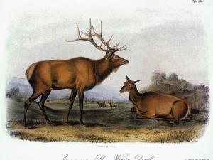 American Elk, 1846 by John James Audubon
