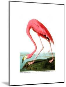 American Flamingo, 1834 by John James Audubon