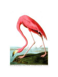 American Flamingo, 1834 by John James Audubon