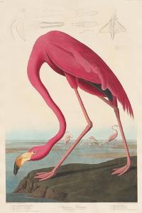 American Flamingo, 1838 by John James Audubon